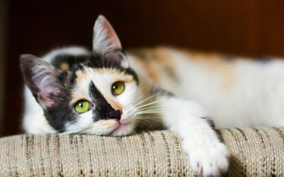 What is Environmental Enrichment and Why Does Your Cat Need it?