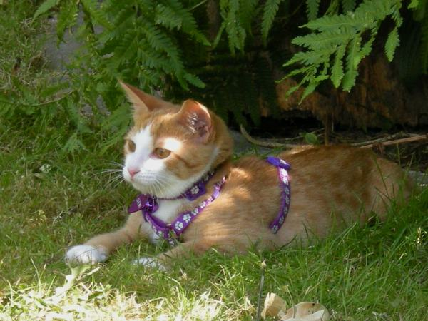 Cat in a Safety Harness Laying in the Grass