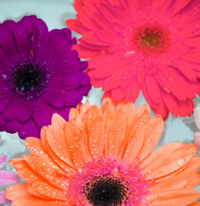 African Daisy Attractive Background 1624260
