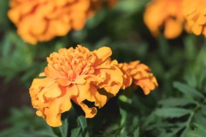 marigolds for catios