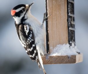 Downy Woodpecker 1287251