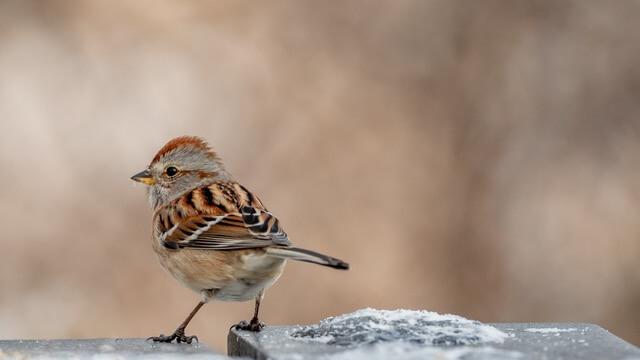 Dreamstime American Tree Sparrow